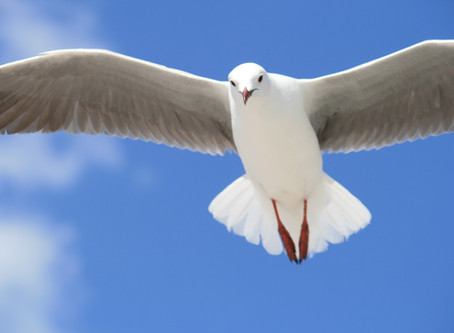 How to clip a Seagull's wings