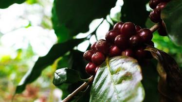 Productores de café en Guanacaste | Diriá Coffee Tour