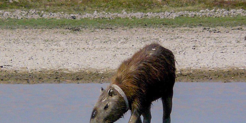 "Livestream: Adriana Maldonado-Chaparro: ""Colombia: Stories of Capybaras and the eastern savannas"" (EN)"