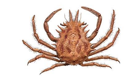Javier Lazaro Lesser spider crab.png