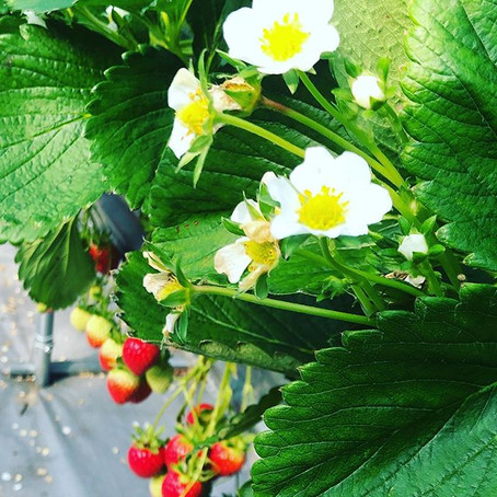 TRAVEL DIARY: Seoulcation Day 1- Strawberries, Nami Island, & The Garden of Morning Calm