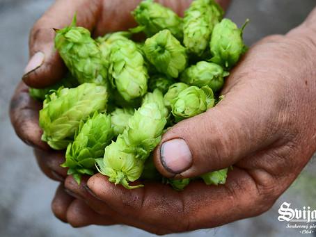 Výroba Svijanského piva