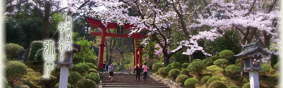春の弥彦神社