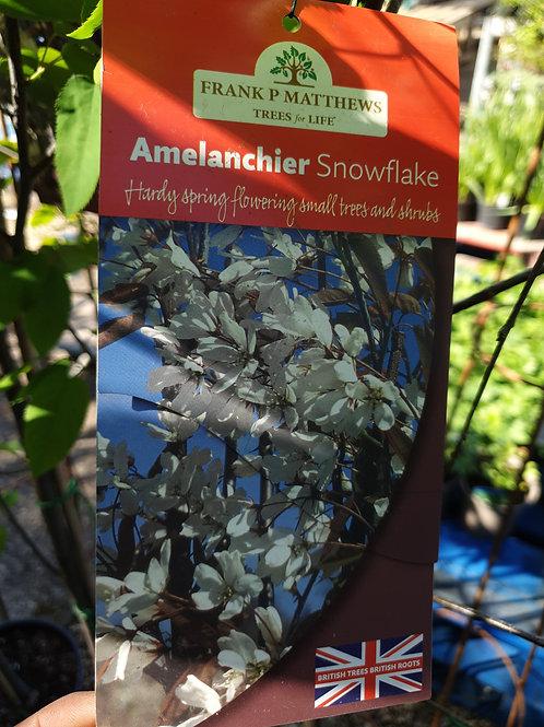 Amelanchier 'Snowflake'