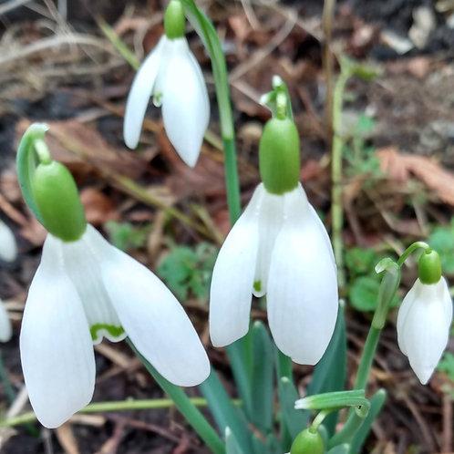 Snowdrops  (Galanthus)