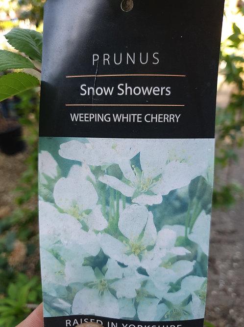 Prunus 'Snow Showers' weeping cherry