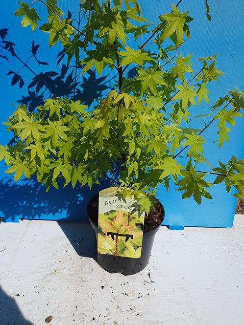 Acer Palmatum Summergold