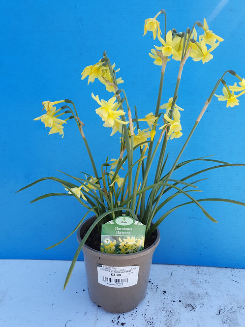 Narcissus Hawera *TO CLEAR*