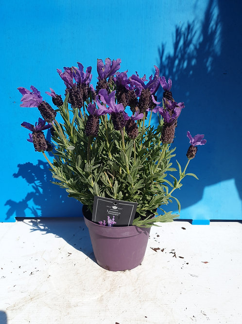 Lavender Stoechas Alexandra