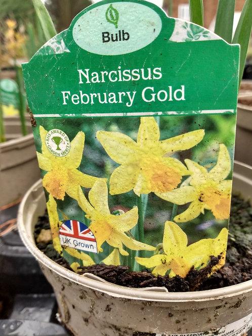 Narcissus 'February Gold'  1L pot