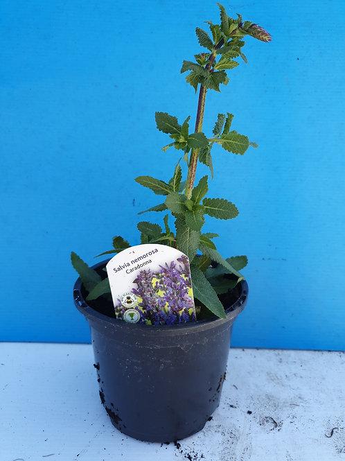Salvia Caradonna- 1 litre