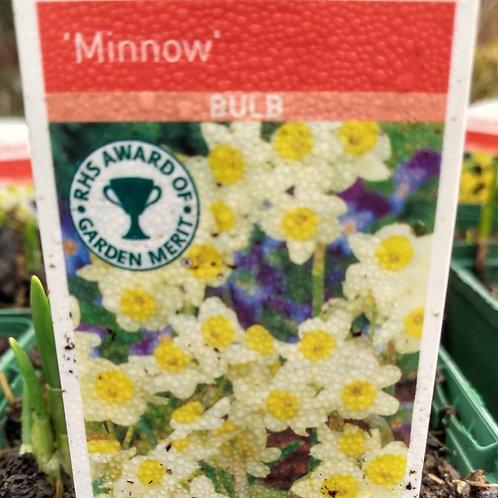 Narcissus 'Minnow' 9cm pot