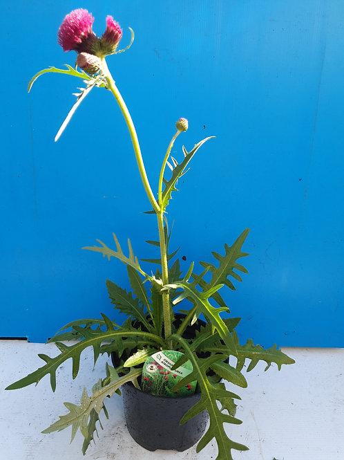 Cirsium atropurpureum