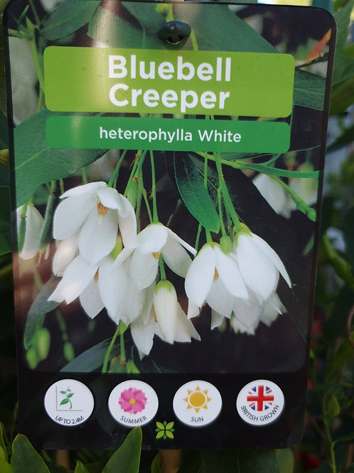White bluebell creeper