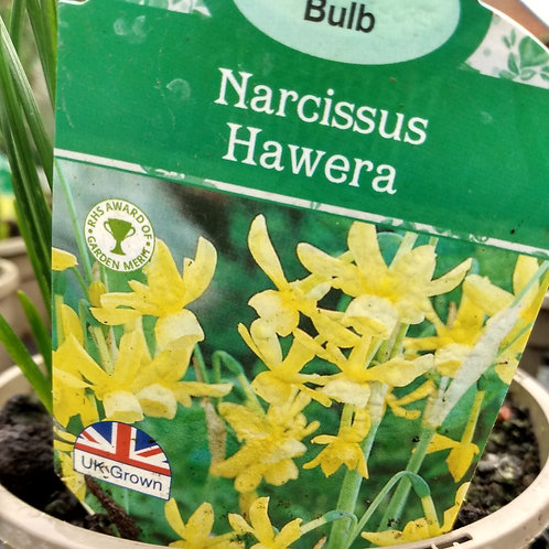 Narcissus'Hawera' 1L pot