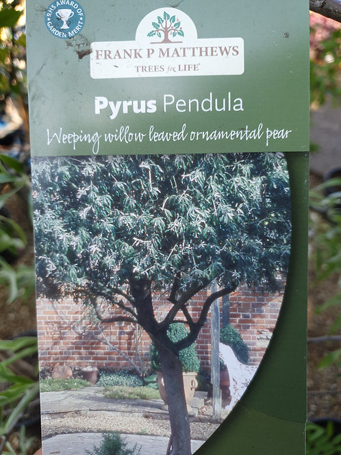 Pyrus pendula (weeping ornamental pear)