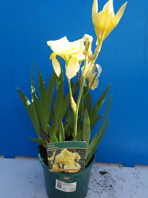 Iris germanica Sangreal