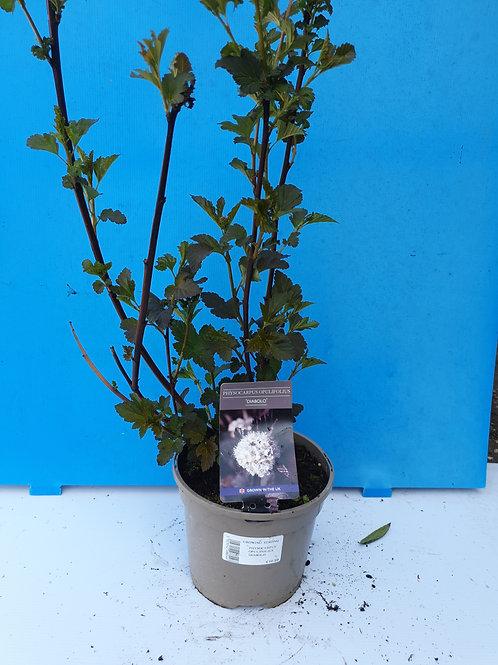 Physocarpus diablo