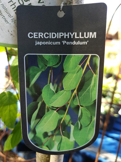 Cercidyphyllum japonicum  'Pendulum'