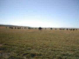 91946 hwy 140 cows.jpg