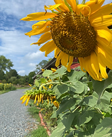 sunflower5.png