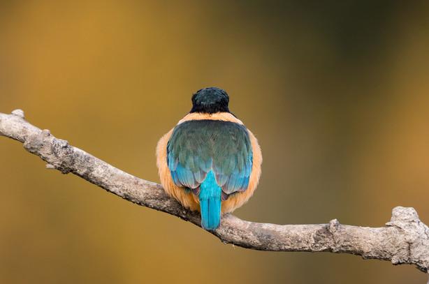 Kingfisher-back-profile-1200.jpg