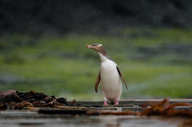 Yellow-eyed-penguin-in-the-rain.jpg