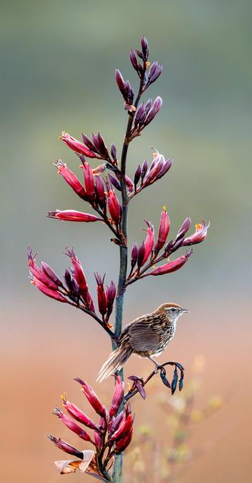 New Zealand Fernbird on flax