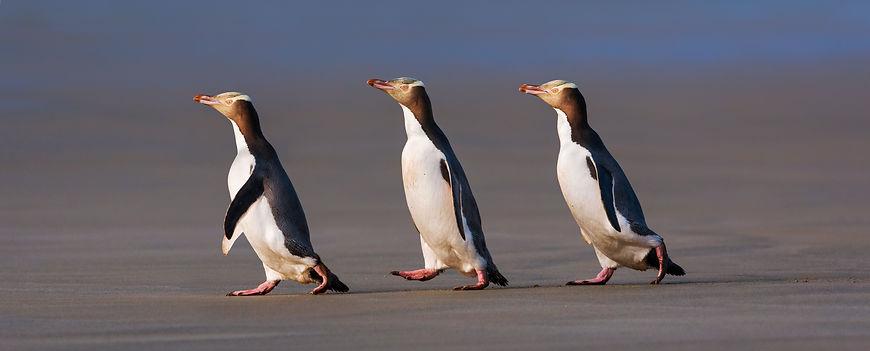 yellow-eyed-penguins-panorama.jpg
