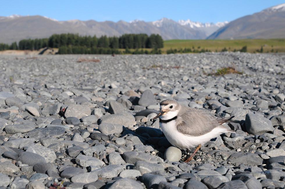 Wrybill nest