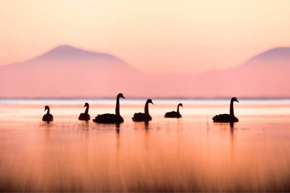 Black swans on Lake Ellesmere