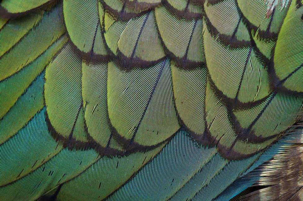 Kea feathers