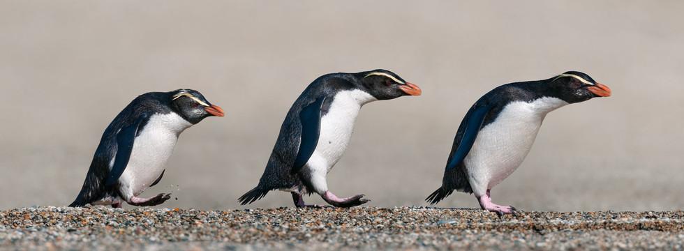 Fiordland-Crested-Penguin-March-2021-120