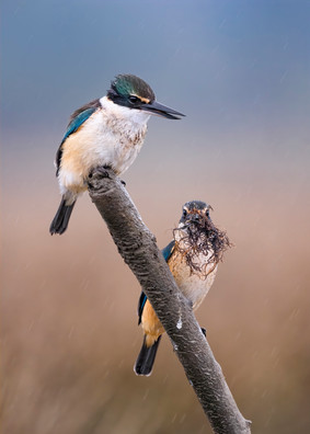 Two sacred kingfishers