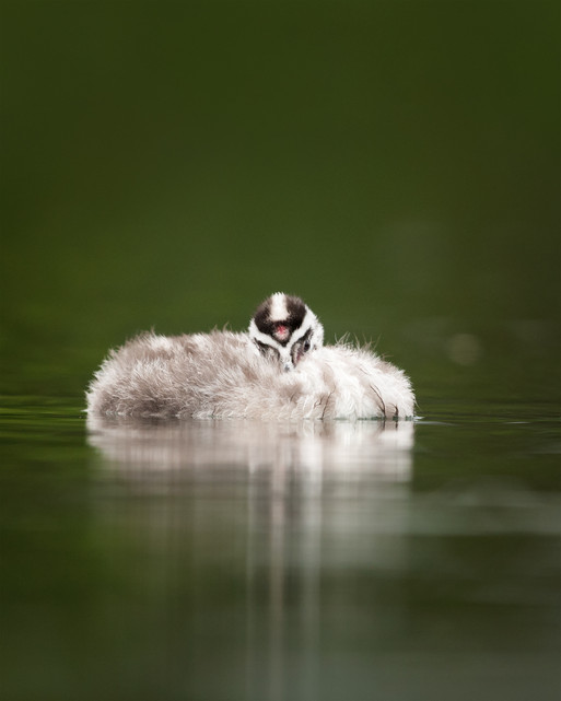 Australasian crested grebe chick
