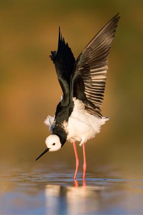 Pied Stilt wing stretch