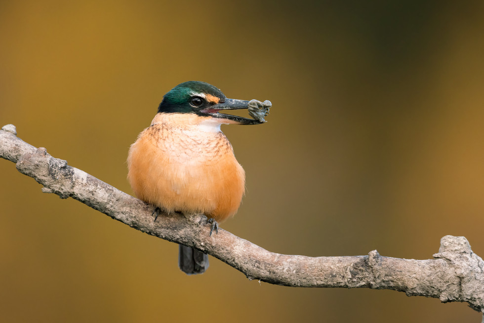 Autumn-kingfisher-portrait-with-crab-120