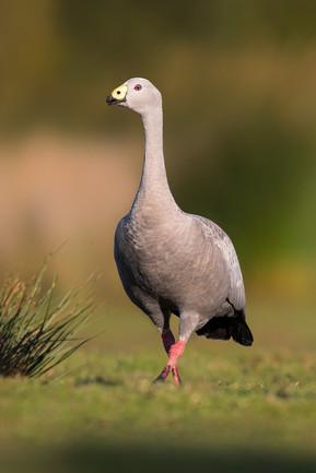 Cape-Barren-Goose---1200.jpg