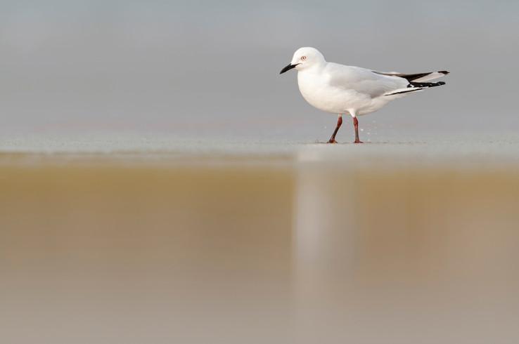 Black-billed gull