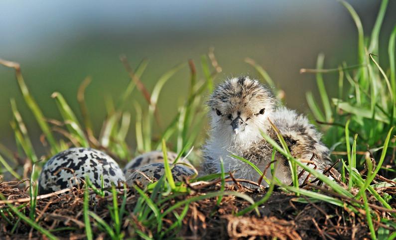 Pied Stilt Chick