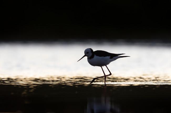 pied stilt feeding at dusk