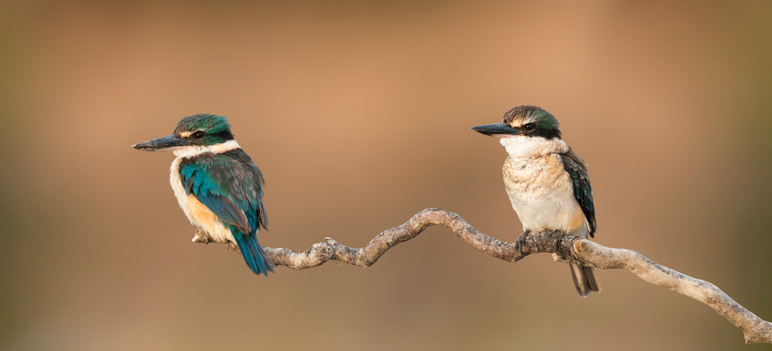 New Zealand kingfishers