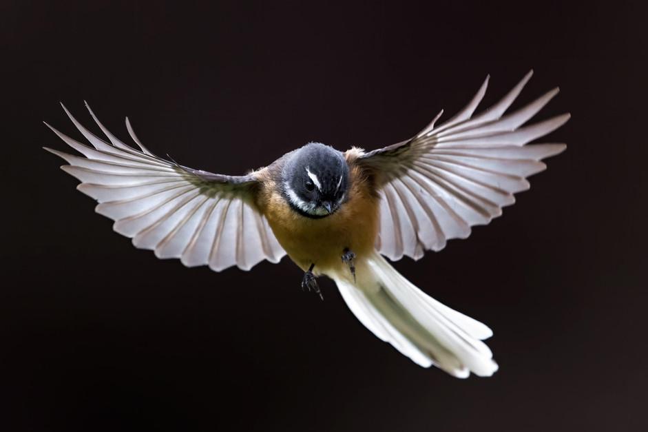 A New Zealand fantail in flight