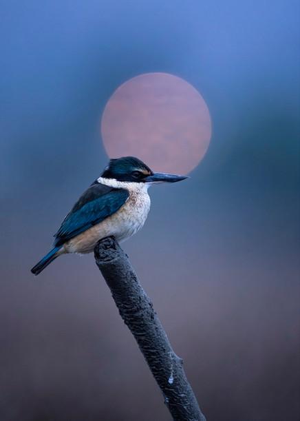 Evening Kingfisher