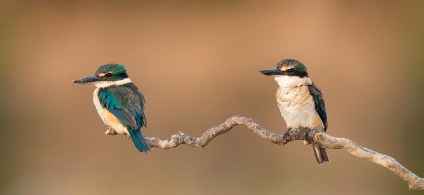 Sacred Kingfishers