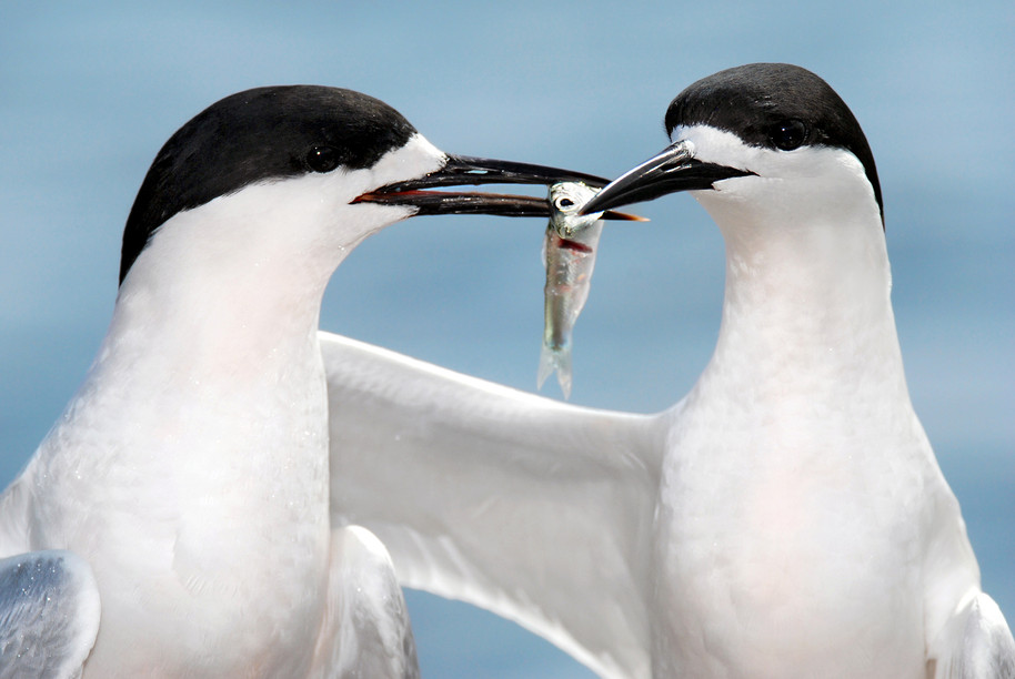 White-fronted tern courtship