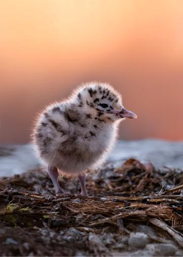 Black-billed gull chick