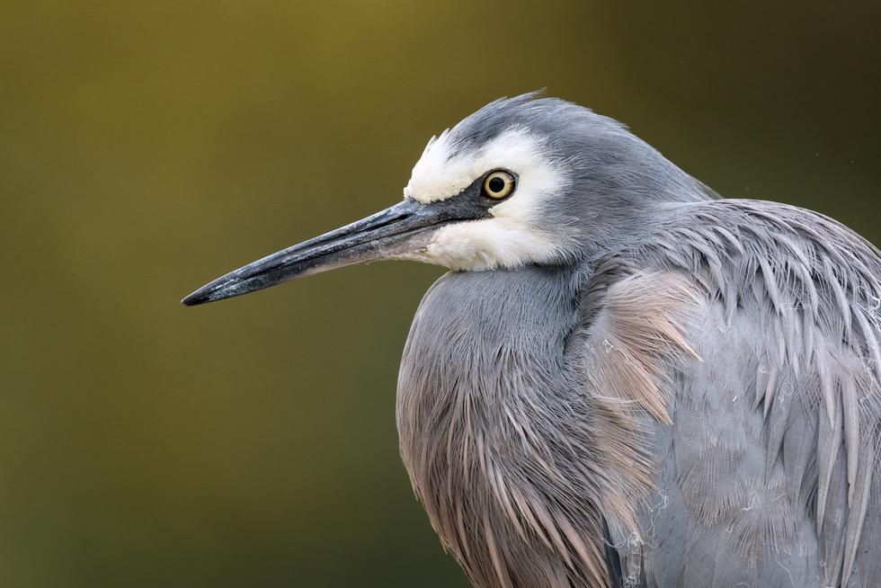 white-faced-heron-portrait-1200.jpg