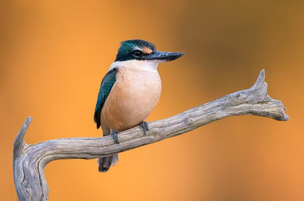 Autumn-kingfisher-portrait-sunset-golds-