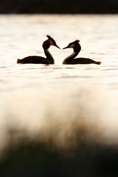 crested grebe courtship silhouette